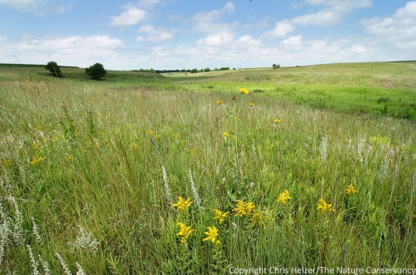 This is one of the more diverse portions of our prairie - a part that was never plowed.  It still has plants such as leadplant, stiff sunflower, and many others.