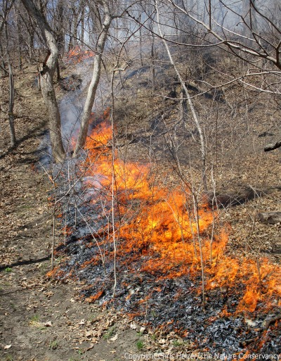The fire burned a little more intensively than most woodland burns we've done at the site, but nothing like a prairie fire - though it burned pretty hot up some of the steeper draws, where leaf litter had accumulated and slopes helped drive the fire.