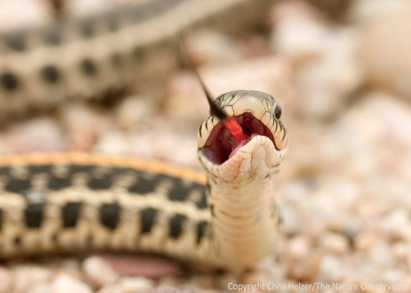 Plains garter snake.  Hamilton County, Nebraska.