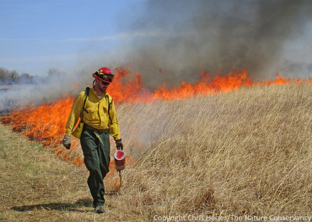 Prescribed fire and grazing are the two best ways we attack invasive grasses such as smooth brome and Kentucky bluegrass.