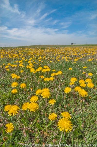 Dandelions - pollinator heaven.