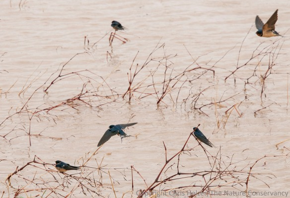 Cliff swallows feeding (apparently) on floating insects during a cold blustery spring day.
