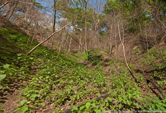 More wood nettles (and other plants) - this time on a southeast-facing slope that burned pretty hot.  Note the dead (or at least top-killed) small diameter trees.