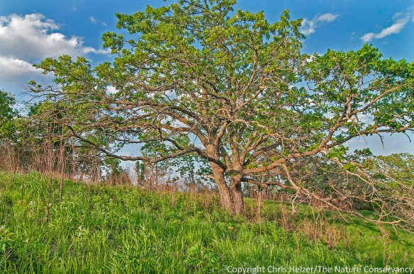 This beautiful spreading bur oak was clearly thriving - as was the prairie around it.
