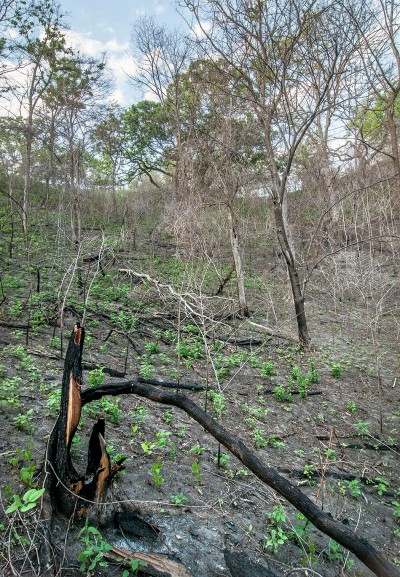 Here is a south-facing wooded slope that has a lot of bare ground.  Again, this will change over time.  Here, many of the small trees were dead prior to the fire (from the hack-and-squirt treatment.