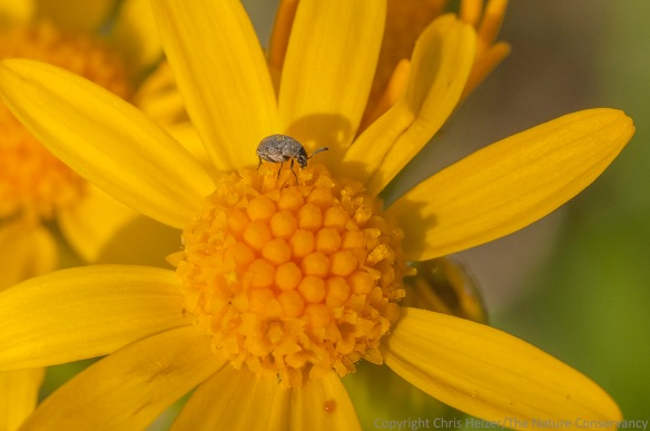 This tiny beetle was on several ragwort plants.  Most of the beetles turned away or jumped to safety when they saw me coming, but this one didn't.
