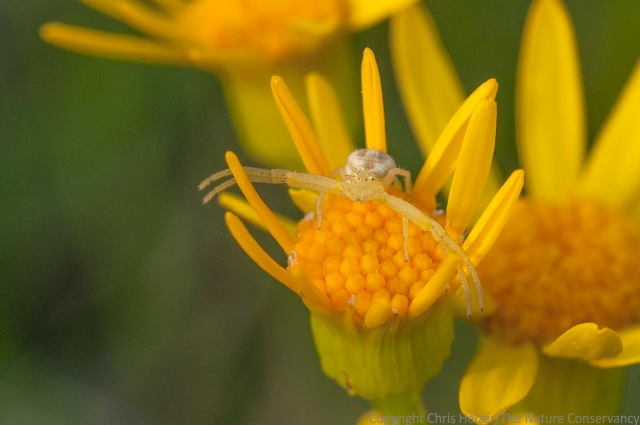 I must have seen two dozen crab spiders before I got this photo.  All the rest of them crawled beneath the petals when I approached, or dropped to the ground if I kept coming.  This one just sat there.