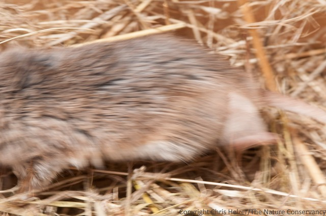 Note the larger size, fuzzier (and shorter) tail, and grayer fur of this grasshopper mouse as it streaks past.