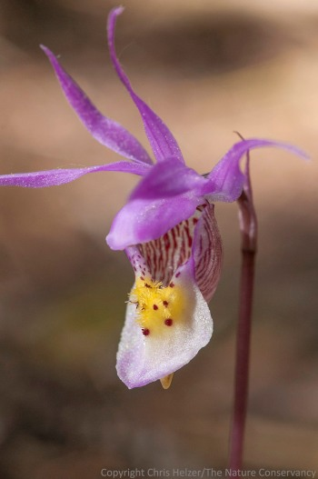 Venus's slipper orchid, aka Fairly slipper orchid (Calypso bulbosa).