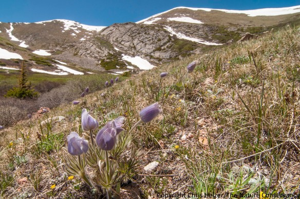 Pasqueflower (Pulsatella patens) at 11,500 feet in the Mount Evans Wilderness south of Idaho Springs, Colorado.