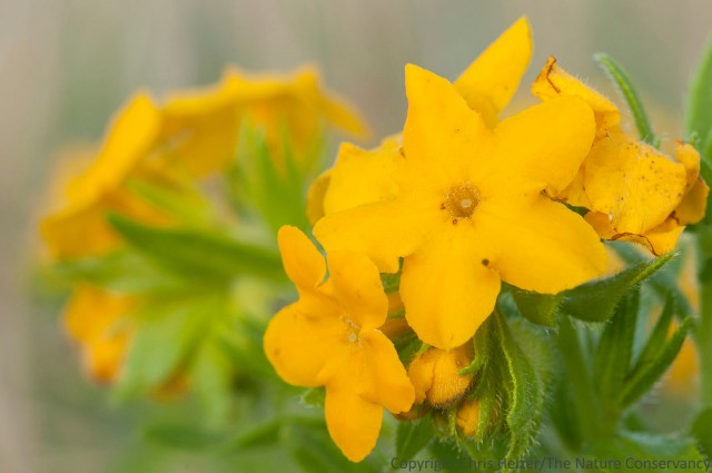 Hairy puccoon (Lithospermum carolinense) was resplendent in the morning light.