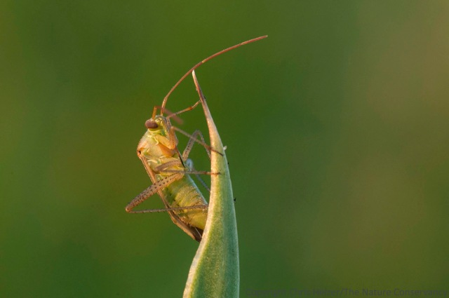 A bug (Hemiptera) sits perched in the late day sunlight.