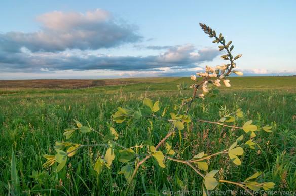 Tall white indigo in restored prairie at the Iowa Department of Natural Resources' Kellerton Wildlife Management Area.