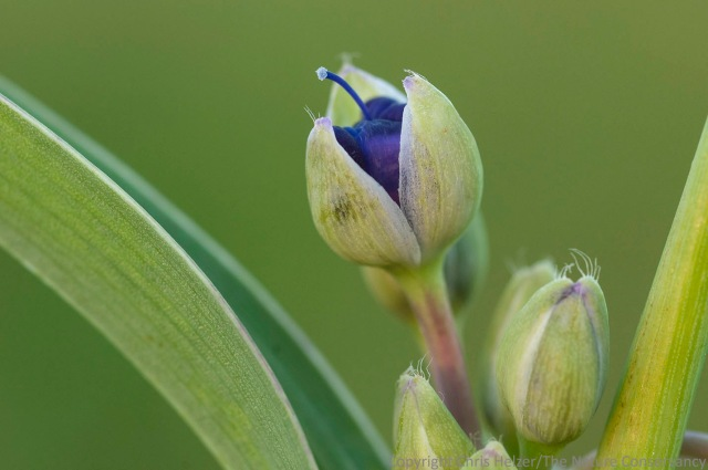 Ohio spiderwort.