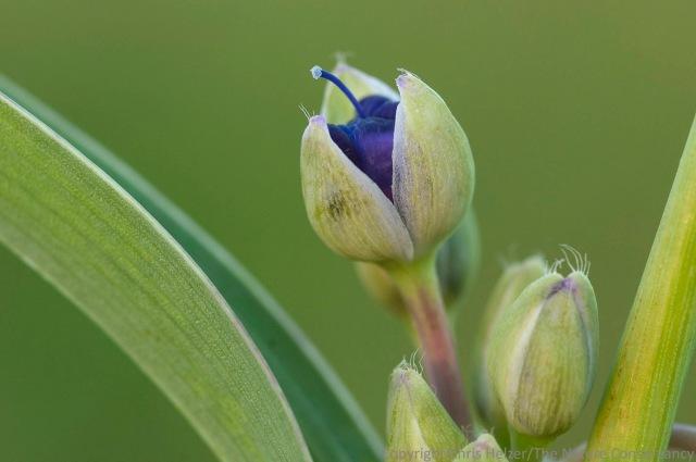 Ohio spiderwort.