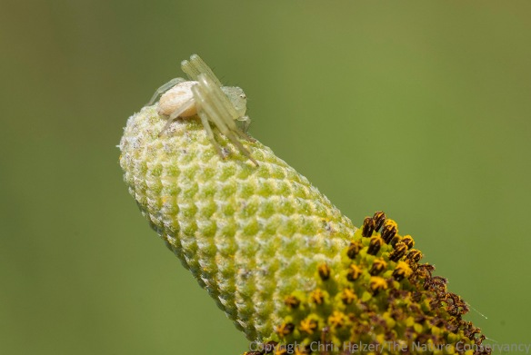 Crab spider on upright prairie coneflower.  The Nature Conservancy's Platte River Prairies, Nebraska.