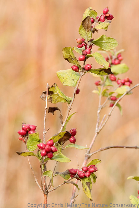 This is a photo of coralberry, a close relative of wolfberry.  The two species look very similar except that coralberry has red fruits and wolfberry fruits are white.