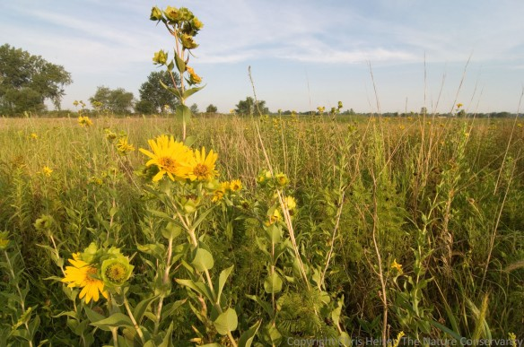 We usually see rosinweed in lowland areas of our prairies, surrounded by other lowland tallgrass prairie plants.