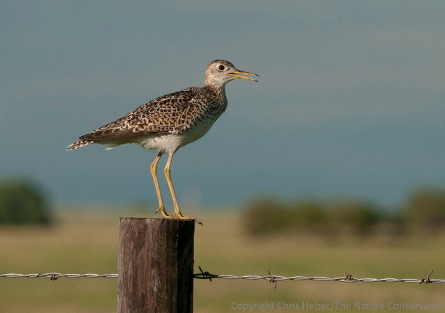 "This is not the upland sandpiper I saw surrounded by cornfields, but another one who was living where he was ""supposed"" to be living - in big open grasslands near Norden, Nebraska."