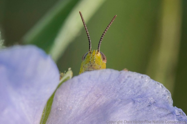 Grasshopper on spiderwort