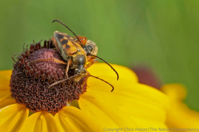 Ted thought this was probably Typocerus octonotatus, a common Great Plains species of longhorned beetles.