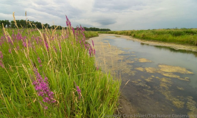 Purple loosestrife and reed canarygrass on the bank of the Platte River.