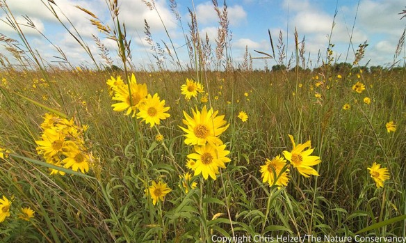 Maximilian sunflower (Helianthus maximiliani) is a native wildflower commonly seen in roadsides this time of year.