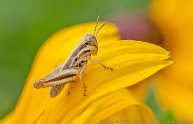 As with the plant hopper, I think this grasshopper nymph simply used the flower as a landing pad when I flushed it as I walked up.