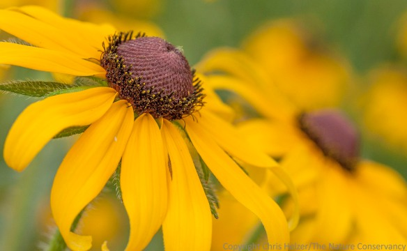 What is more wildflowery than the black-eyed Susan (Rudbeckia hirta)?