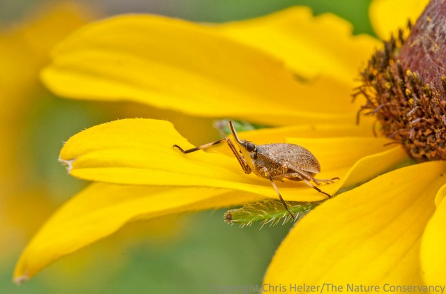 I don't think this plant hopper was feeding on black-eyed Susans - it flew in and landed while I was admiring the flower, so i photographed it.