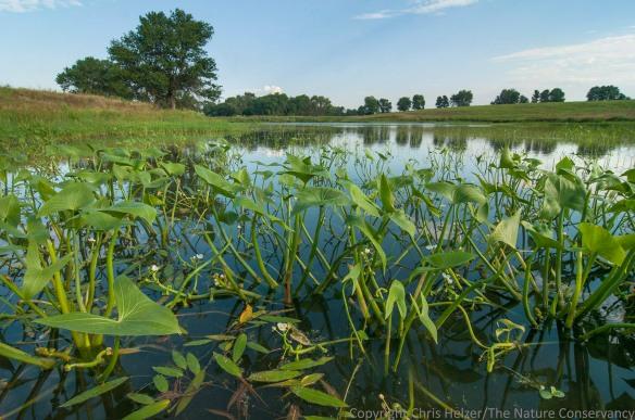 The pond/wetland at the Helzer family prairie with abundant arrowhead (Sagittaria sp.) in the shallows.