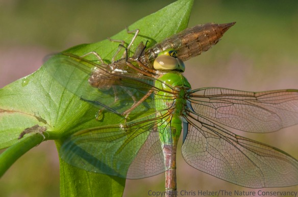 A green darner dragonfly and the larval exoskeleton it had only recently escaped from.