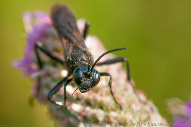 A wasp on purple prairie clover.  The Nature Conservancy's Platte River Prairies, Nebraska.