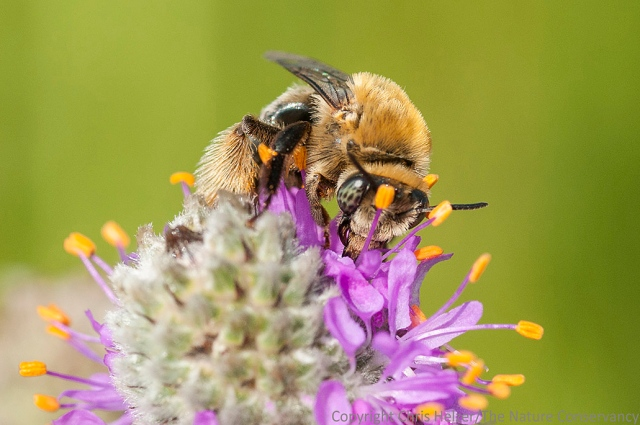 This bee appeared in a post earlier this week.  This is Photo C.
