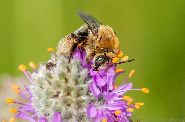 In this second version (Photo D), there is no anther blocking the view of the bee's face, but the bee's face is more in profile.  It seems like a tiny difference, but I think the Photo C has a pretty different feel from Photo D.  Thoughts?