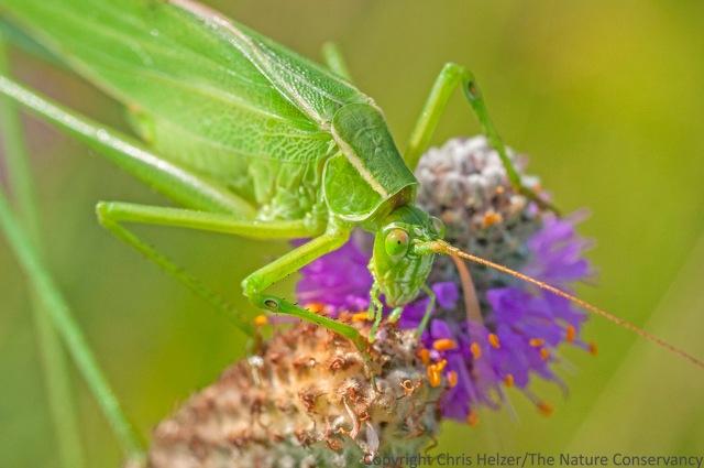 A bush katydid feeding on purple prairie clover.  The Nature Conservancy's Platte River Prairies, Nebraska.