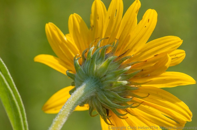 """This photo of Maximilian sunflower (from the """"wrong"""" side) is a little off-center and includes a bit of leaf to the left."""