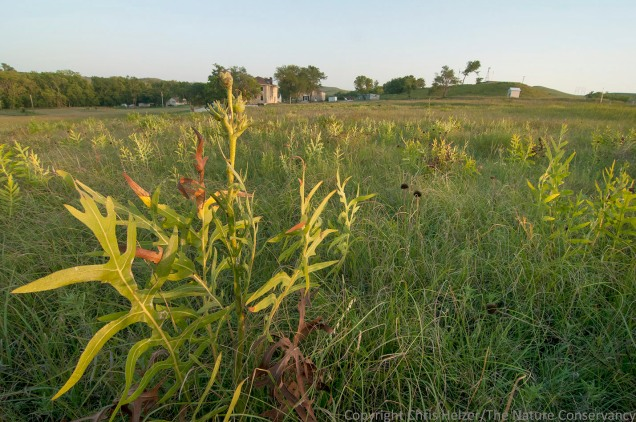 Annually-burned prairie near the headquarters of Konza Prairie near Manhattan, Kansas.  It has been very dry there since early summer, so much of the vegetation - including compass plant - is shorter than usual.