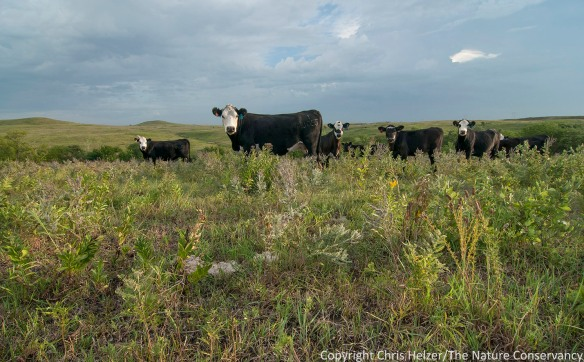 Patch-burn grazing was being used in a portion of Konza prairie.  These cattle were grazing in the most recently burned patch, creating habitat of short grass and tall forbs (wildflowers).  Ungrazed forbs in this photo includes leadplant and purple prairie clover.