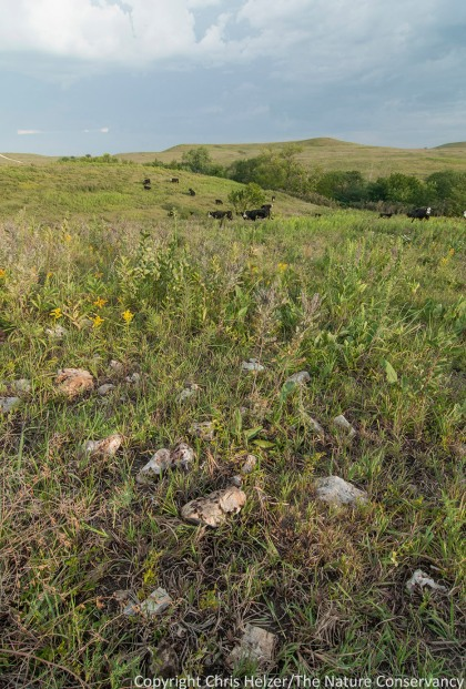 The Flint Hills prairie in Kansas is named for the shallow layers of bedrock beneath the surface.  There are also many scattered rocks in the prairie that are easier to find after a fire or grazing event opens up the vegetation.