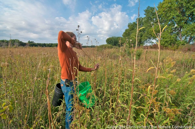 Nelson Winkel harvests Maximilian sunflower seeds by hand.