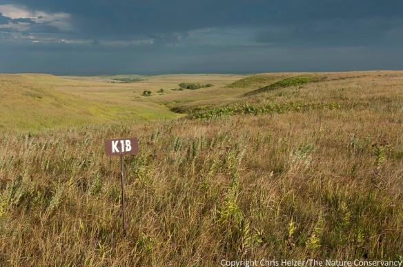 Annually-burned tallgrass prairie at Konza Prairie, in the Flint Hills of eastern Kansas.