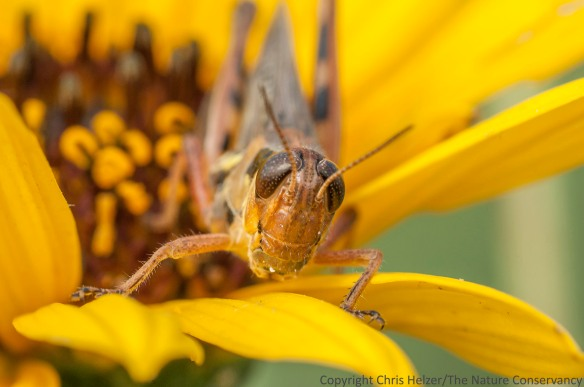 This grasshopper was feeding on the pollen of stiff sunflower - an apparent favorite of many adult grasshopper, katydid, and tree cricket species.