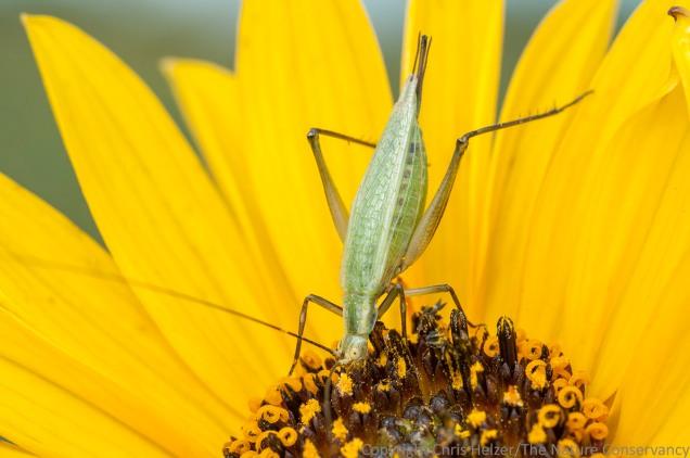 Tree crickets get in on the stiff sunflower pollen feeding frenzy too.