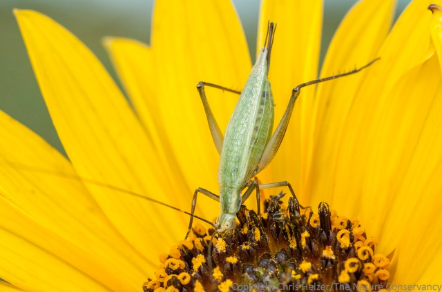 Tree crickets get in on the stiff sunflower pollen feeding frenzy too.