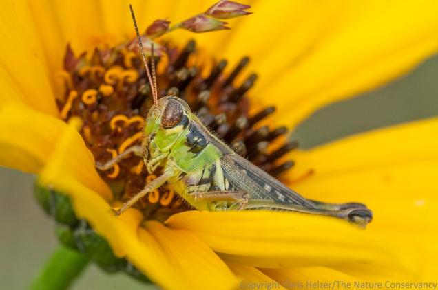 Another grasshopper species (probably) also feeding on stiff sunflower.