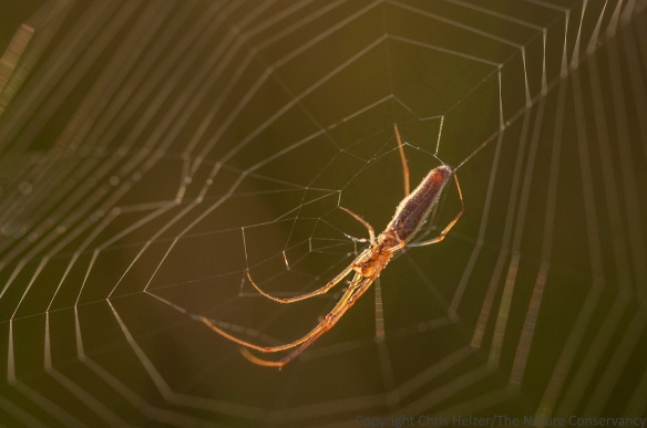 A long-jawed orbweaver in early morning light.  The Nature Conservancy's Platte River Prairies, Nebraska.