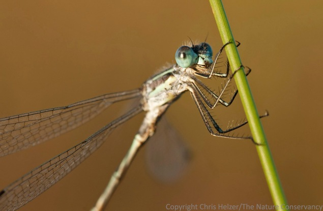 This damselfly was the only one I successfully photographed - out of more than a dozen I stalked.  I crept slowly up to it with my tripod while it was still in the shade of the tree and then got my photo as the shadow's edge came across it.