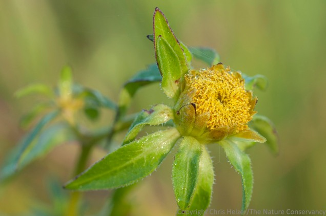 Several species of beggarticks (Bidens) grow along the edge of wetlands along the Platte River.