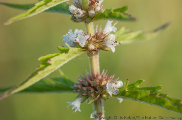 Field mint (Mentha arvensis) is another wetland edge plant.  Plants in the mint family usually have a pronounced square stem.